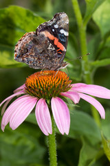 red admiral atop a purple cone flower