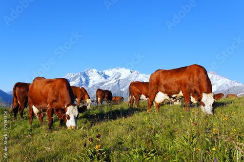 Papiers peints Vache vaches d'altitude