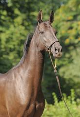 Portrait of akhal-teke mare