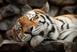 Fototapety sleeping tiger