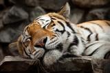Fototapety sleeping tiger