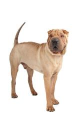 chinese shar pei dog isolated on a white background