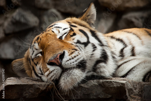Zdjęcia na płótnie, fototapety na wymiar, obrazy na ścianę : sleeping tiger