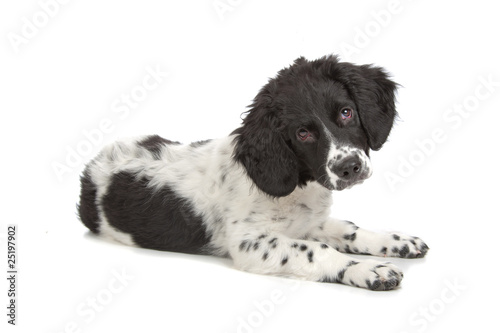 Frisian Staby puppy isolated on a white background