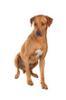 Rhodesian Ridgeback dog isolated on a white background
