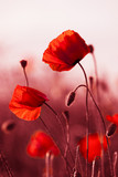 Fototapety Red Poppies in Meadow