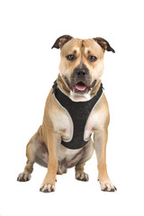 american stafford dog isolated on a white background