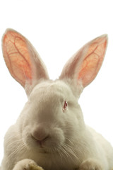 The white rabbit is isolated on a white background
