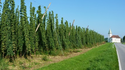 Hop growing area - Tettnang, Bavaria, Germany