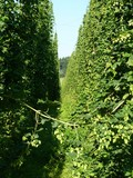 hop garden - Bavaria, Germany
