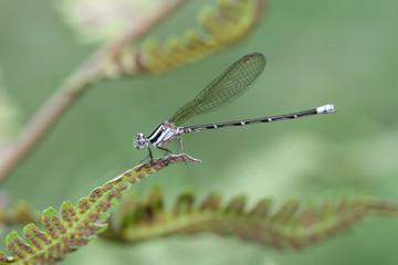 Skimming bluet - (Enallagma germinatum)