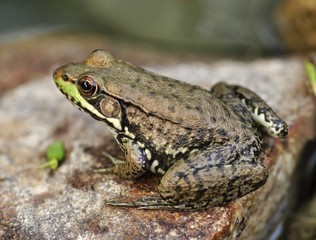 Common water frog on a stone