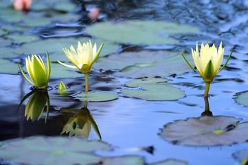ninfea fiori 1003