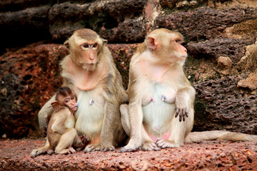 Monkey in Lopburi of Thailand
