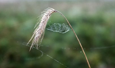 Wet Spiderweb on the wheat