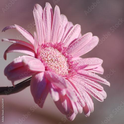 fleur de gerbera et gouttes de rosée © soniaC