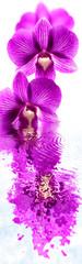 dendrobium, orchidée, fond blanc