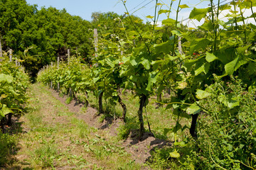 Dutch vineyard