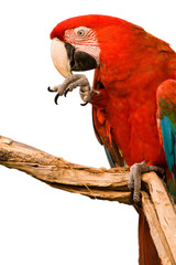 Red Macaw head close-up isolated on white