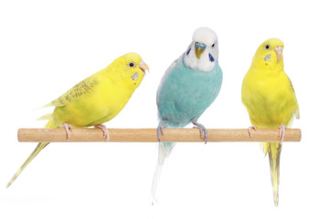 Blue and two yellow budgerigars on a branch