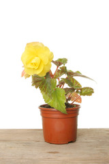 Begonia plant with a yellow flower