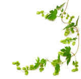 hops plant twined vine poster