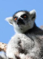 Lemur de cola anillada