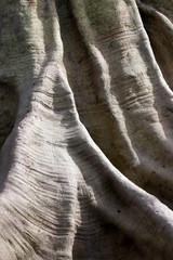 Textura de tronco de árbol centenario