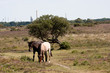 New Forest Landscape with ponies
