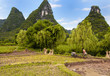 Rice Fields being harvested in Yangshuo, China.