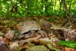 Box Turtle (Terrapene carolina)-Monte Sano State Park - Alabama