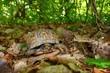 Box Turtle (Terrapene carolina)-Monte Sano State Park - Alabama