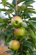 Fresh apples in new meadow