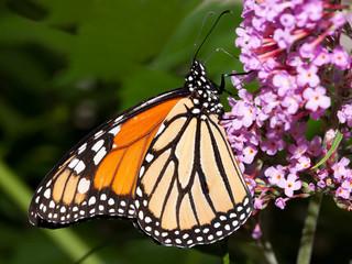 monarch butterfly feeding on a butterfly bush