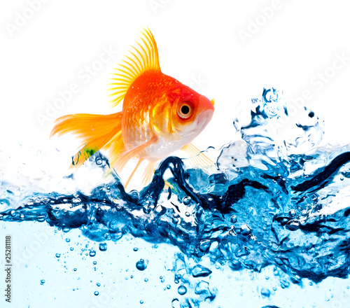 gold fish jumping .