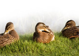mallard young ducks