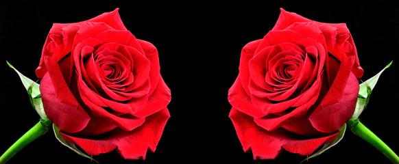 Rosas enfrentadas.