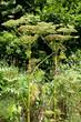 Riesenbärenklau (Heracleum mantegazzianum) in der Natur