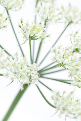 Wiesenbärenklau (Heracleum sphondylium) Blüte ganz nahe