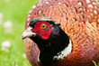 Pheasant Male with Dirty Bill Looking at You