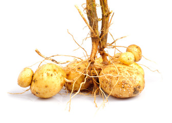 Potato with root