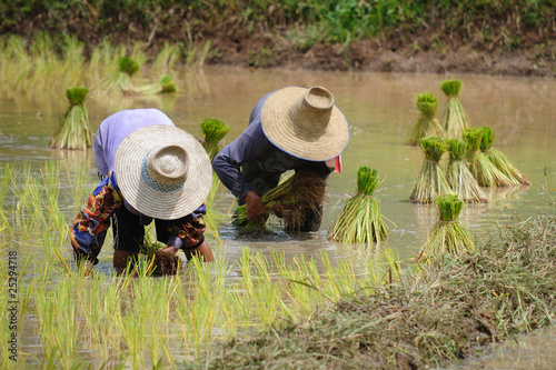 Rice Plantation in Thailand