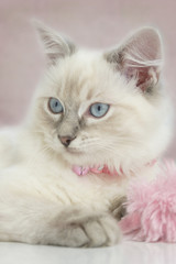 pretty ragdoll kitten