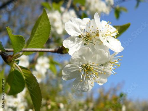 fleur d 39 aub pine de gilbertpinvidic photo libre de droits 25305378 sur. Black Bedroom Furniture Sets. Home Design Ideas
