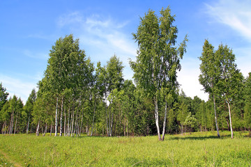 birch copse on summer field