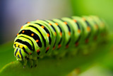 Fototapety green caterpillar