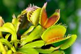 Dionaea muscipula , Venusfliegenfalle.fleischfressende Pflanze