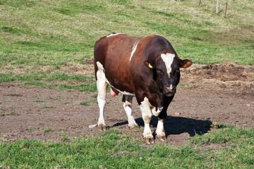 Zuchtbulle auf der Weide 898