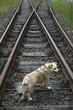 Hund auf Bahnschienen