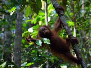 Cub of the orangutan on a branch.